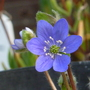 Hepatica_noblis_blue_2