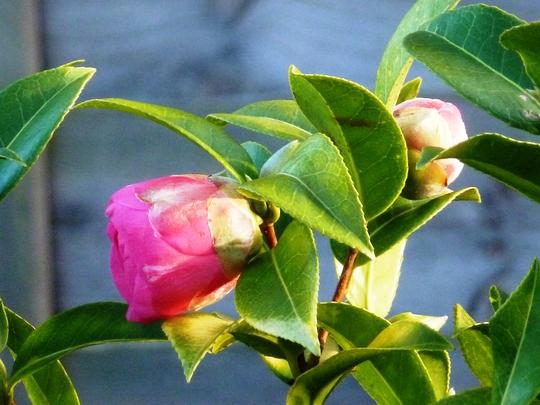 Camellia   in bud