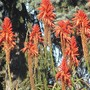 One more.. (Aloe arborescens)
