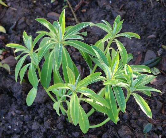 Euphorbia 'Honey Pot'