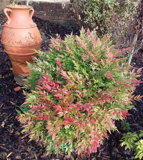 Nandina...domestically Obsessed (seika)