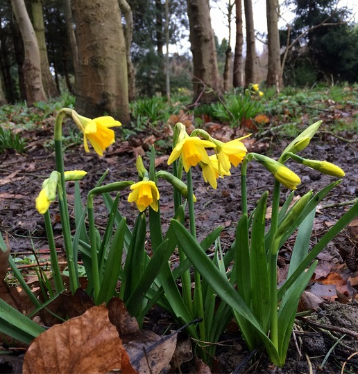 Narcissi in the Woodland