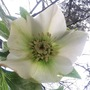 Hellebore - Another one from seed