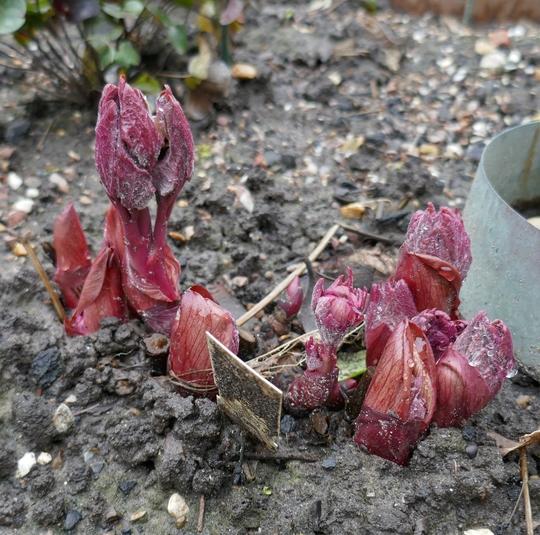 Somebody's keen! (Paeonia triternata)