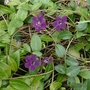 Vinca_minor_atropurpurea_2020