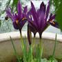Iris_reticulata_ds_dijt