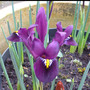 Iris_reticulata_lion_king