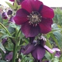 Hellebore from seed