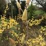 Magnolia soulangeana with Cornus mas behind