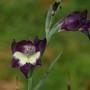 Gladiolus carinatus x huttonii purple form (Gladiolus)