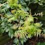 Sorbaria sorbifolia..