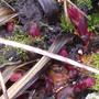 Paeony shoots (Paeonia mascula (Balkan Peony))