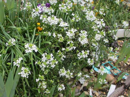 Arabis caucasica (Arabis alpina caucasica)