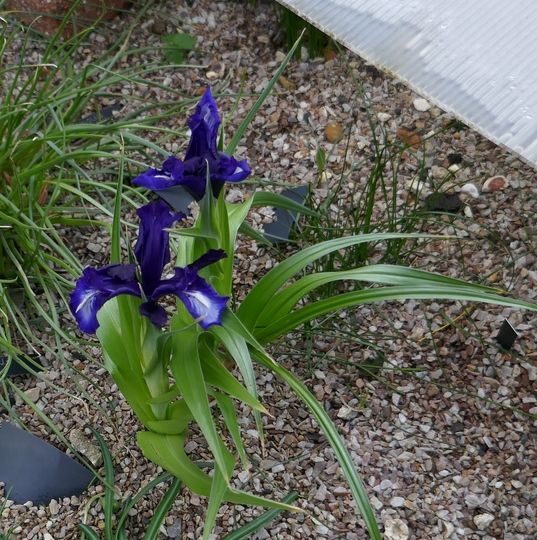 Iris aucheri (indigo flowered - 2020) (Iris aucheri)