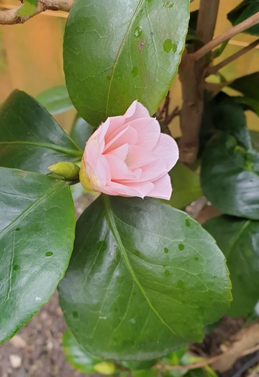 Camellia just opening