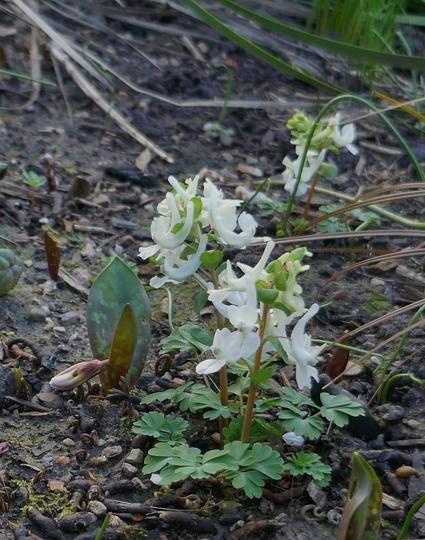 Corydalis malkensis - 2020 (Corydalis malkensis)