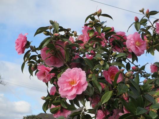 Camellia Donation (Camellia x williamsii Donation)