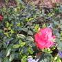 Vinca minor variegata (Vinca minor (Lesser periwinkle) variegata.)