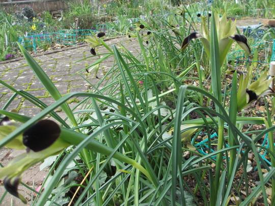 Iris tuberosa (Iris tuberosa)