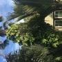 Monstera deliciosa - Split-leaf Philodendron  (Monstera deliciosa - Split-leaf Philodendron)
