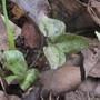 Trillium luteum (Trillium luteum)