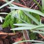 Podophyllum Spotty Dotty (Podophyllum vesipelli)