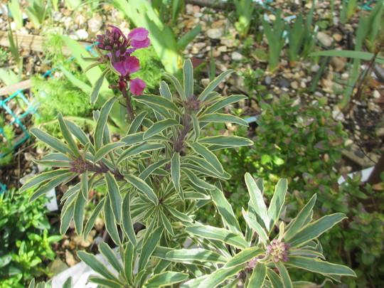 Variegated Wallflower (Erysimum linifolium variegatum)