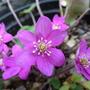 Hepatica  noblis Pink