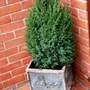 Juniperus_stricta
