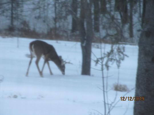 Deer eating apple falls