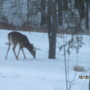 Deer eating apple falls