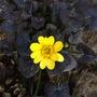 Ranunculus fricaria Brazen Hussy