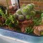 Desert Cacti pot