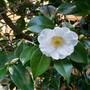 Camellia_japonica_devonia_2020