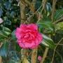 Camellia_adolphe_audusson_2020
