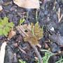 Anemonella thalictroides (Anemonella thalictroides)