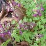 Corydallis elata 'Purple leaf' (Corydalis elata 'Purple leaf')