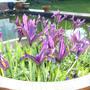 Iris reticulata J.S.Dijt