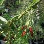 Clianthus puniceous