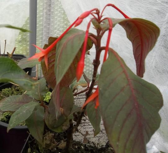 Fuchsia  'Gartenmeister Bonstedt'