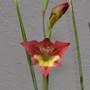 Gladiolus huttonii (Gladiolus huttonii)