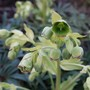Helleborus foetidus close-up...