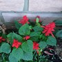 Garden Joy (Salvia splendens)