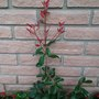 Photinia x fraseri (Christmas berry)