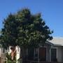 Mango Tree (Mangifera indica) (Mango Tree (Mangifera indica))