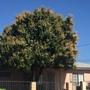 Mango Tree  (Mangifera indica) Flowwering  (Mango Tree  (Mangifera indica))