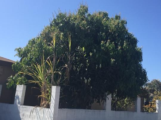 Mango Tree  (Mangifera indica) Flowering  (Mango Tree  (Mangifera indica) Flowering)
