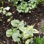 Brunnera plants....