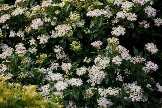 Viburnum. (Viburnum tinus (Laurustinus))