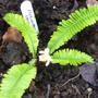 Pteridophyllum racemosum (Pteridophyllum racemosum)